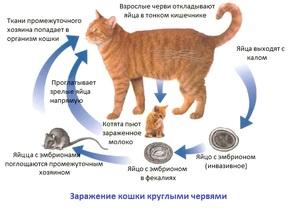 Как понять есть ли глисты у кошки