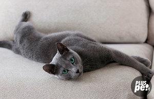 Как ведут себя британские кошки