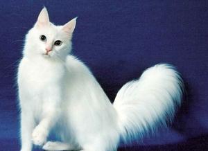 Питание ангорской кошки