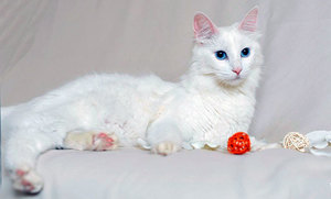 Характер ангорской кошки