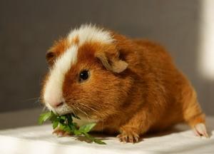 Как кормить морскую свинку
