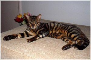 Кошки тойгеры