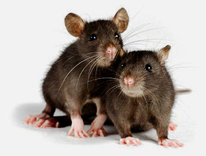 Домашние крысы - забавные грызуны