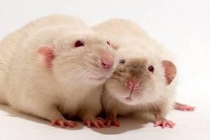 Крысы Дамбо - интересные животные