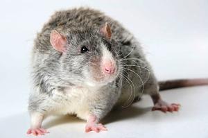 Крысы Rex отличаются очень интересной кудрявой шерстью