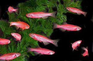 Рыбка данио