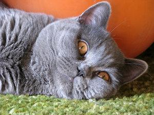 Как назвать котенка серого окраса