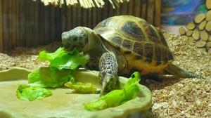 Рацион сухопутной черепахи
