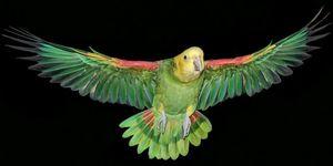 Попугай Амазон - особенности содержания