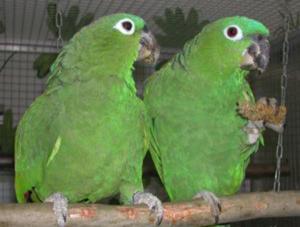 Амазон мюллера - порода попугаев