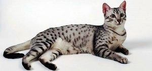 Кошка Египетская Мау - фото породы