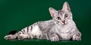 Египетская мау - древняя порода кошек
