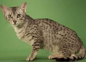 Порода Египетская Мау - что это за кошки
