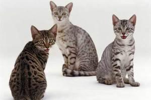 Египетская мау с котятами - забавные животные
