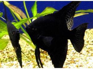 Домашние рыбки скалярии