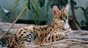 Особенности породы кошек сервал