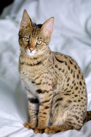 Кустарниковые породы кошек сервал