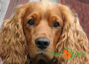 Выбрать щенка английского кокер спаниеля