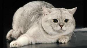 Скоттиш страйт шотландская прямоухая кошка