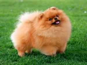 Шпиц - небольшая порода собак с очень милой внешностью и гордым характером