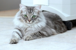 Особенности сибирской кошки