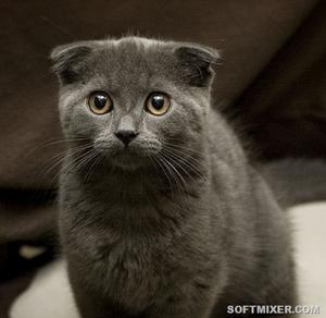 Шотландская вислоухая кошка описание породы характер