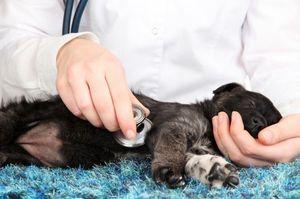 Хронический и острый панкреатит у собаки
