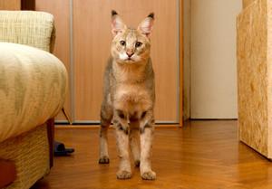 Самая редкая кошка чаузи