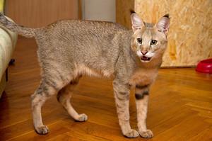 Описание кошек чаузи