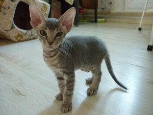 Сууколько стоит котенок сфинкса
