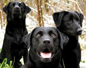 Подробное описание собак породы лабрадор: стандарты и характеристика