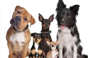 Характеристики пород собак, которые не линяют или мало линяют