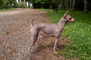 Список пород собак, которые не линяют совсем