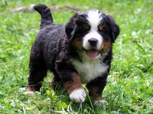 Бернский зенненхунд: воспитание щенка