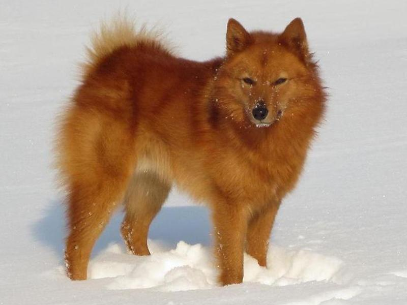 Описание породы собак карело-финская лайка: покупка щенка, воспитание и дрессировка; рацион питания лайки