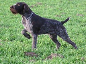 описание породы охотничьей собаки дратхаар