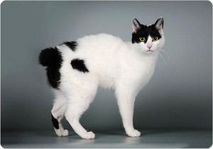 Японский бобтейл - порода котов