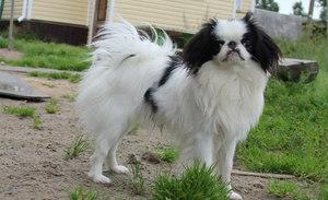 Как выглядит собака японского хина