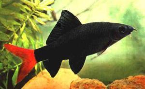 Чем кормить рыб лабео