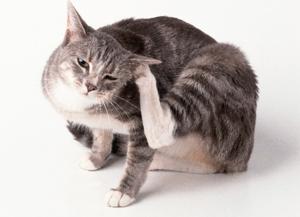 Препарат Фунгин для лечения микроспории у кошек