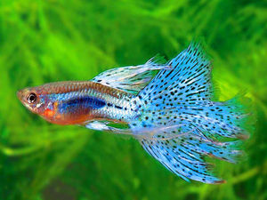 Аквариумные рыбки гуппи