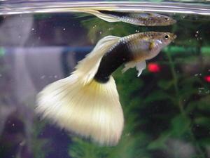 Уход за рыбками гуппи и их содержание в акваруме