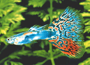 фото самки и самца гуппи рыбки