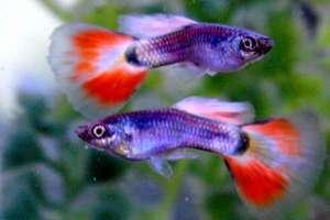как ухаживать за рыбками гуппи