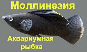 Моллинезия черная - аквариумная рыбка
