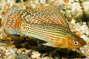 Парусная моллинезия - редкий вид рыбки