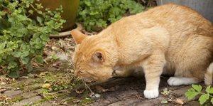 Рвота пищей у котов
