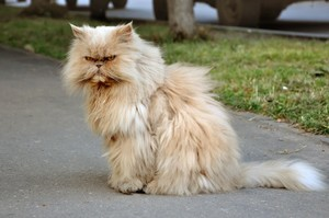 Как описать персидскуцю кошку