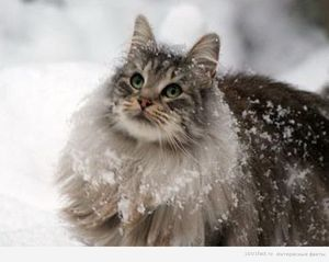 Внешний вид кошек породы норвежская лесная