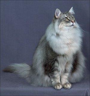 Описание кошек породы норвежская лесная